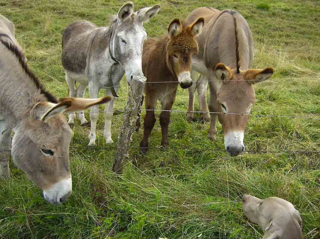 donkeys-291562_1280